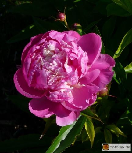 Paeonia lactiflora 'Murillo' -- Chinesische Pfingstrose