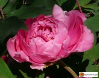 Paeonia suffruticosa 'Jules Pirlot' -- Strauchpfingstrose