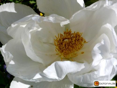 Paeonia suffruticosa 'Lactea' -- Strauchpfingstrose