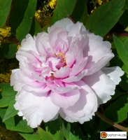 Paeonia suffruticosa 'Madame de Vatry' -- Strauchpfingstrose