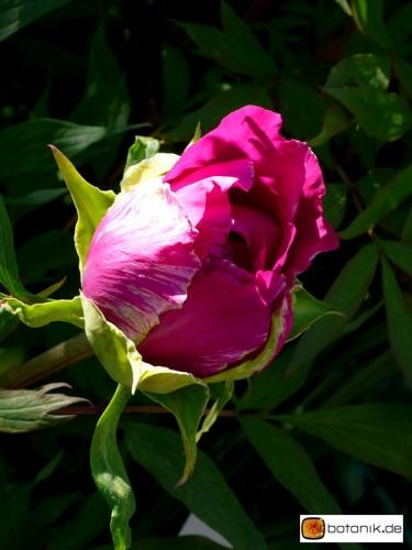 Paeonia suffruticosa 'Taisho No Hokori' -- Strauchpfingstrose