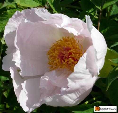 Paeonia suffruticosa 'Zhao Fen' -- Strauchpfingstrose