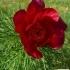 Paeonia tenuifolia -- Schmalblättrige Pfingstrose