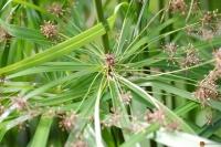 Cyperus papyrus -- Papyrus