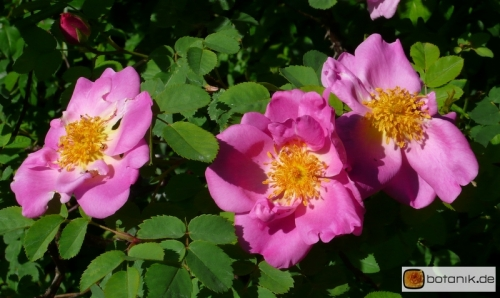 Parkrose rosa centifolia_cristata