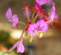 Pelargonium endlicherianum