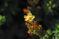 Petrophytum hendersonii