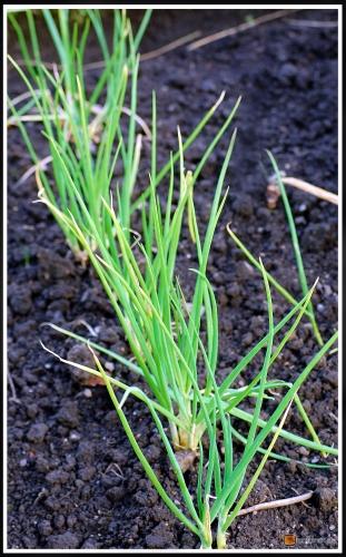 Allium cepa 'Golden Gourmet' -- Schalotte