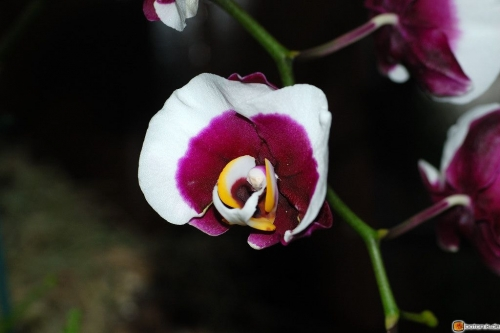 Phalaenopsis Ever Spring Light