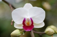 Phalaenopsis Little Gem Stripes