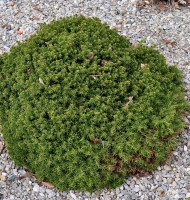 Picea abies 'little gem' -- Kleine Nest-Fichte