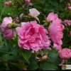 Rosa Rugosa 'Pink Grootendorst' -- Japan-Rose