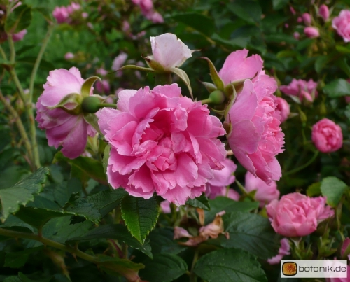 Rosa rugosa 39 pink grootendorst 39 japan rose garten for Japan garten pflanzen