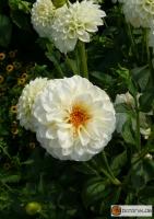 Pompon Dahlie 'White Aster'