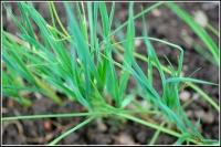 Allium porrum -- Lauch