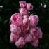 Rosa 'Raubritter' -- Rose 'Raubritter'