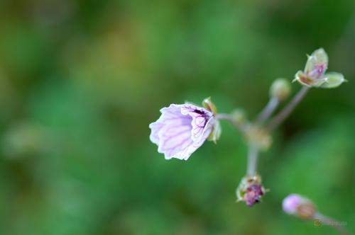 Erodium willkommianum cheilanthifolium-x-macradenum -- Reiherschnabel