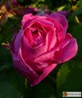 Remontant Rose Mme Scipion Cochet