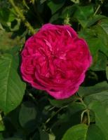 Remontantrose Reine des Violettes