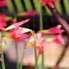 Rhodophiala chilensis