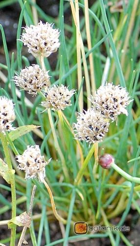 Allium schoenoprasum 'sibiricum' -- Schnittlauch