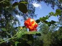 Rose: Strauch-Rose - Rosa 04.06.2008
