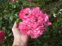 Rose: Mehrblütige Strauchrose - Rosa floribunda 06.07.2008
