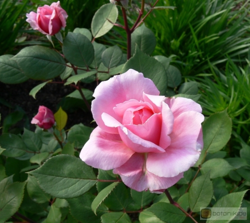 Rosa Brother Cadfael -- Englische Rose Brother Cadfael