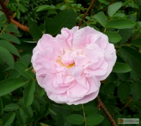 Rosa Pimpinellifolia  'Stanwell Perpetual' --