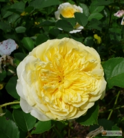 Rosa The Pilgrim Englische Rose