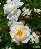 Rosa moschata 'Trier' -- Moschus Rose