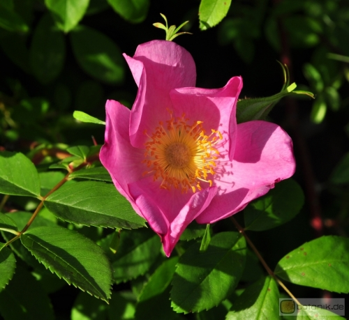 Rosa virginiana -- Virginia Rose