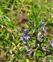 Rosmarinus officinalis 'Sissinghurst Blue' -- Rosmarin 'Sissinghurst Blue'