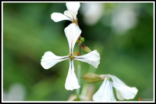 Eruca sativa -- Rucola