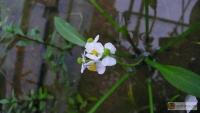 Sagittaria spec -- Pfeilkraut