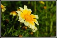 Glebionis coronaria -- Salatchrysantheme