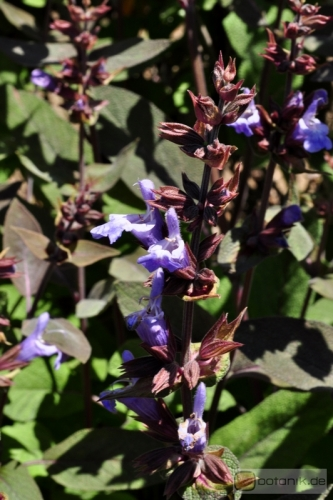 Salvia officinalis 'purpurea' -- Salbei