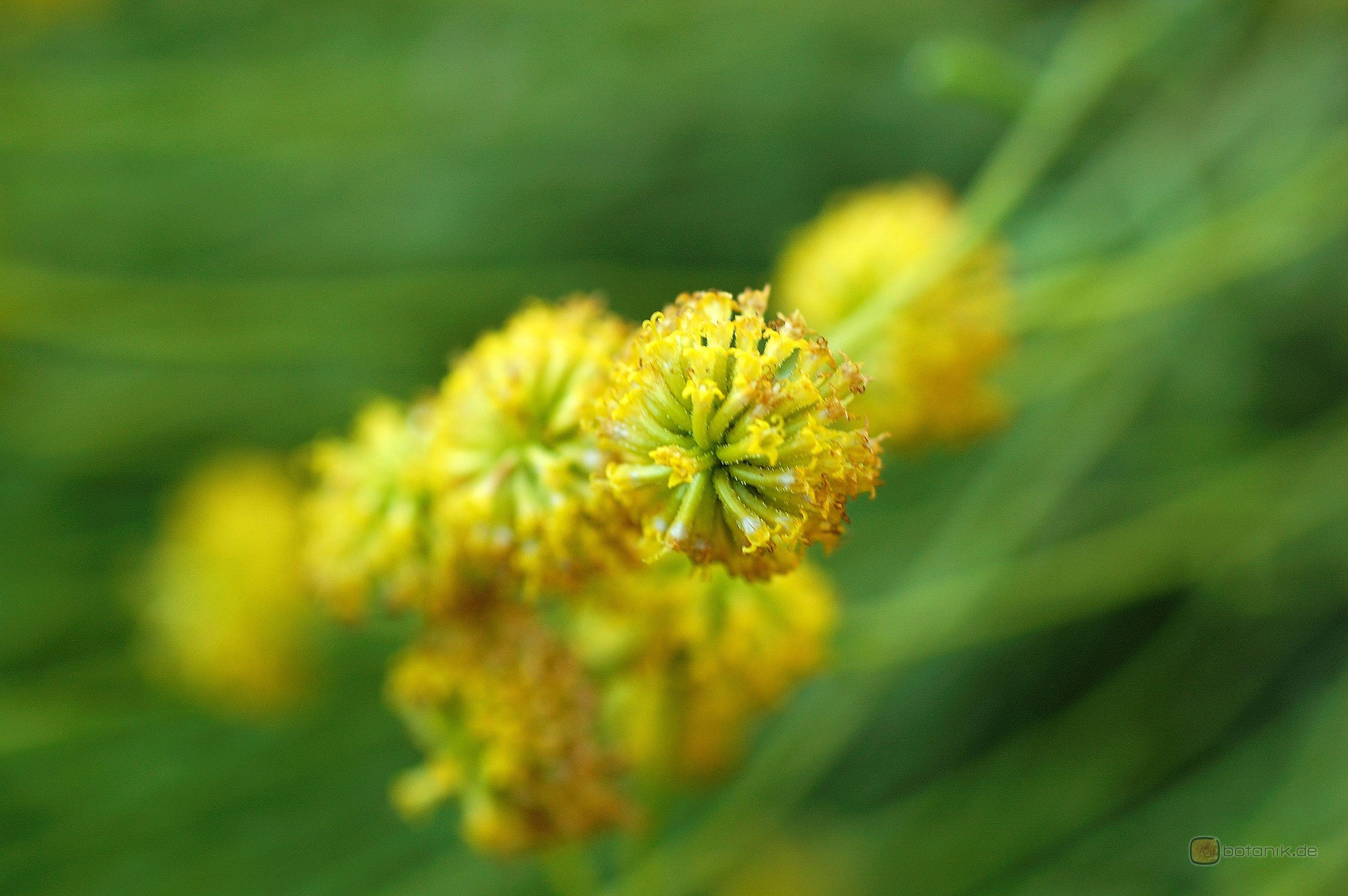 Santolina chamaecyparissus 'squarrosa' -- Graues Heiligenkraut 'squarrosa'