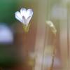 Solenopsis minuta ssp cretica