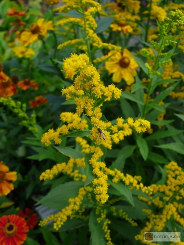 Solidago 'Junigold' -- Goldrute 'Junigold'