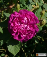 Rosa centifolia 'William Lobb' -- Strauchrose