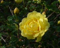 Strauchrose Persian Yellow