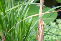 Sugar Cane Zuckerrohr Saccharum officinarum