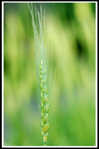 Triticum aestivum April-Bearded