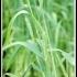 Triticum aestivum 'Capelle Deprez' -- Weizen