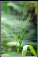 Triticum aethiopicum