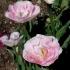 Tulipa 'Angelique' -- Tulpe 'Angelique'