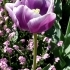 Tulipa 'Arabian Mystery' -- Tulpe 'Arabian Mystery'
