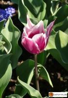 Tulipa 'Ballade' -- Tulpe 'Ballade'
