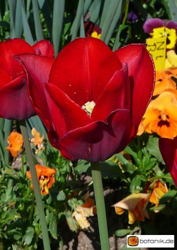Tulipa 'Bastogne' -- Tulpe 'Bastogne'